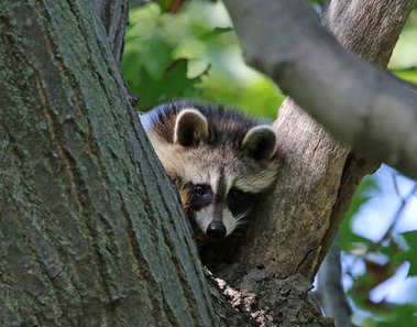A young Raccoon ( rocyon lotor) sitting in the 'Y' of a tree.  Shot in Wheatley Provincial Park, located in Ontario, Canada