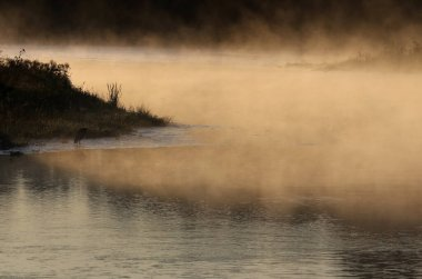 Golden mist rises off the Conestogo River as a Great Blue Heron (Ardea herodias) waits patiently on the shore, shot just outside St. Jacobs, Ontario, Canada.