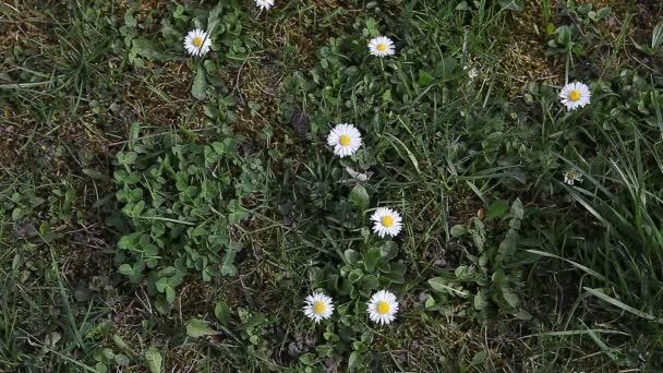 Junges Mädchen pflücken Gänseblümchen vorfrühlingsblüher auf grünen Rasen
