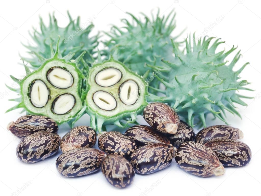 Dry and green castor beans