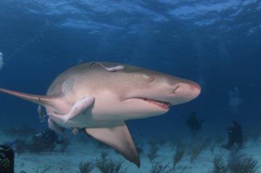Lemon Shark Swim By