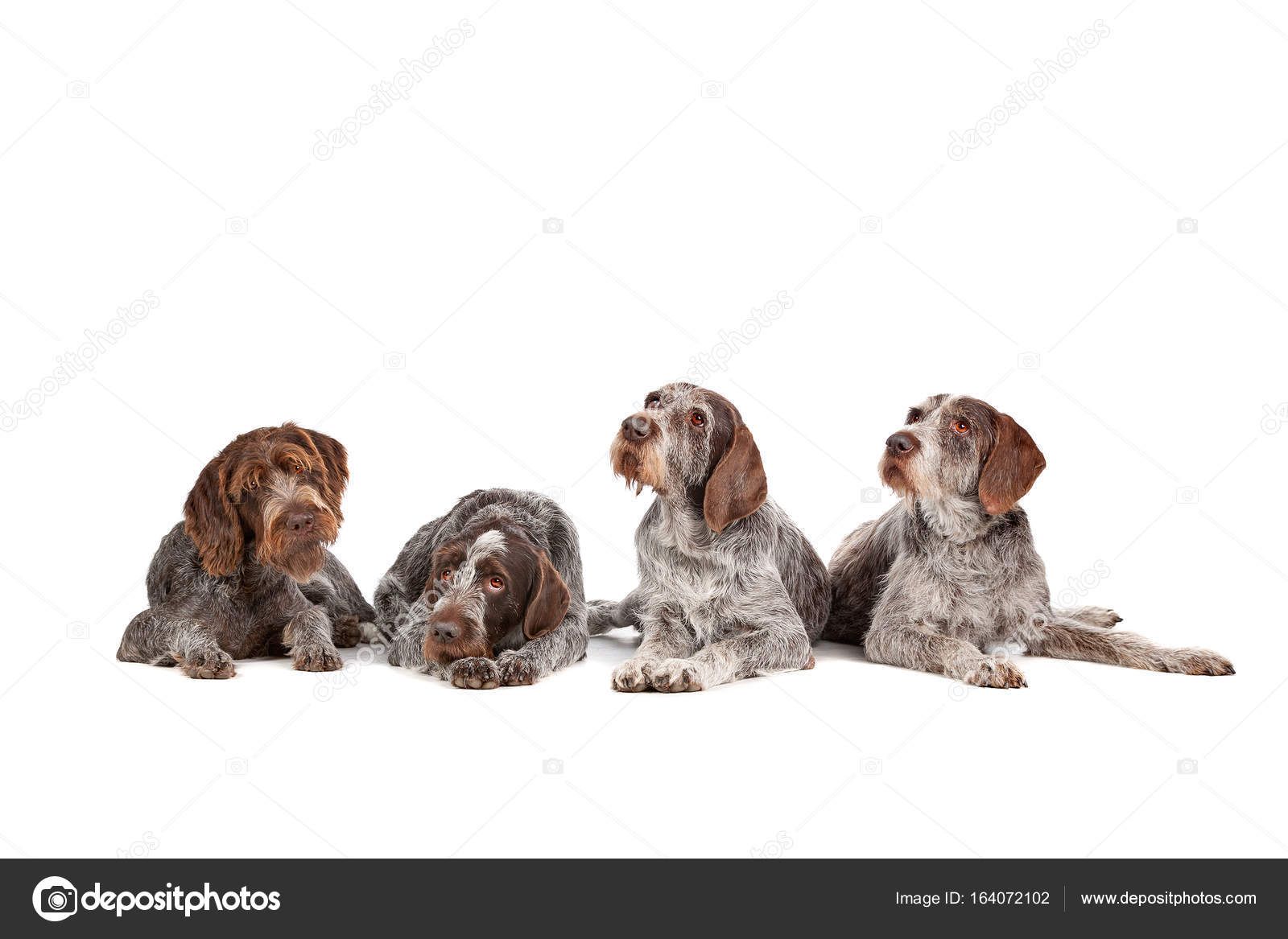 four German Wirehaired Pointer dogs — Stock Photo © eriklam #164072102