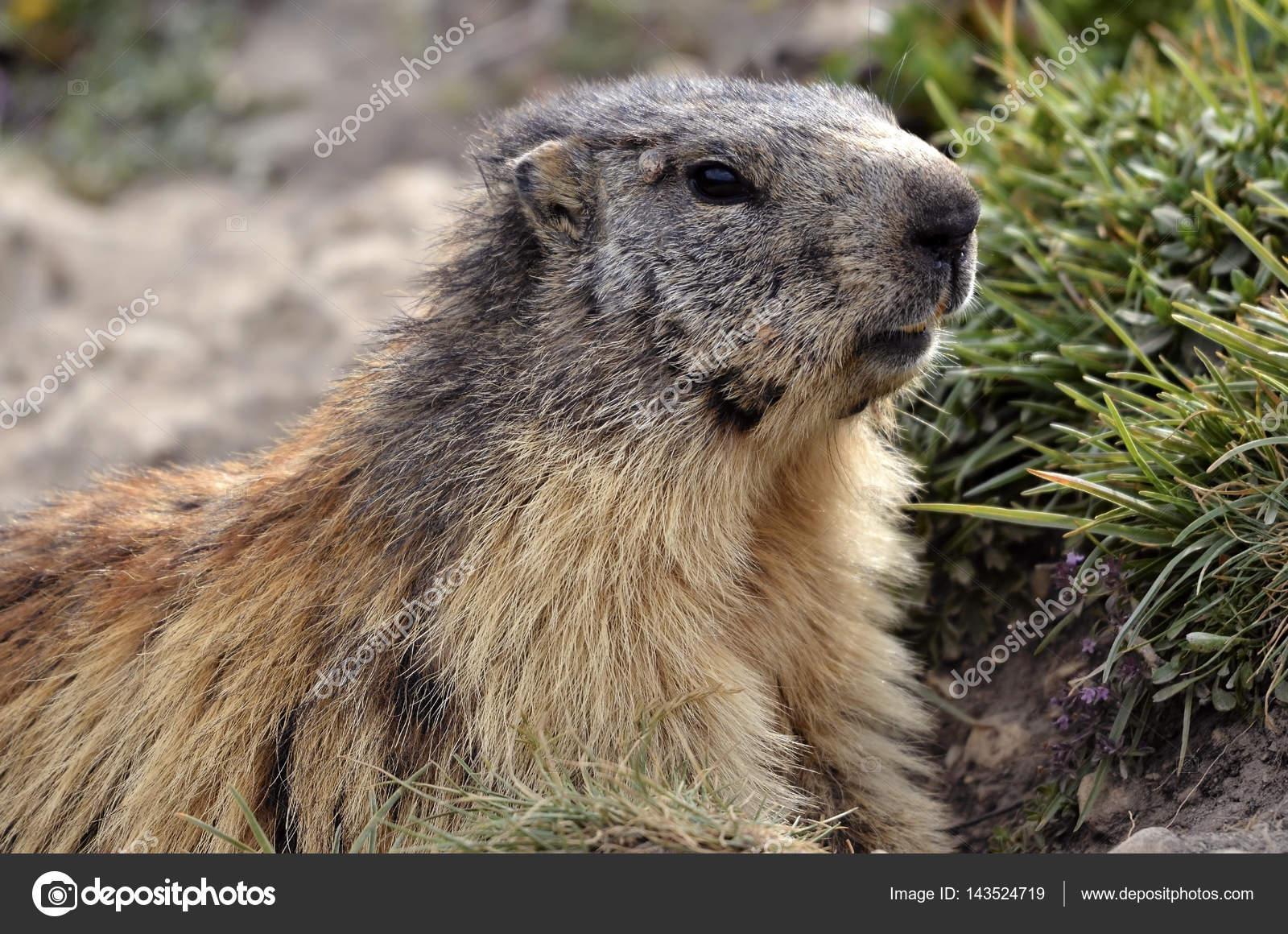 Portrait Alpine Marmot — Stock Photo © Christian #143524719