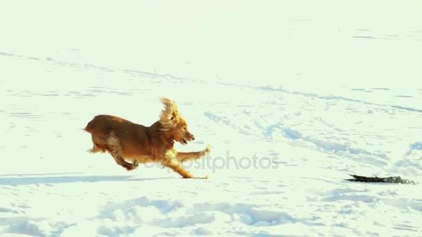 Šťastný pes kokršpaněl běh a skákání v přírodě s stick v zimě těší ve zpomaleném filmu. 1920 × 1080