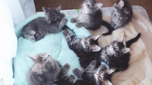 Adorable Maine Coon kittens lying in a cats blue sofa and funny move their heads back and forth. 1920x1080. hd