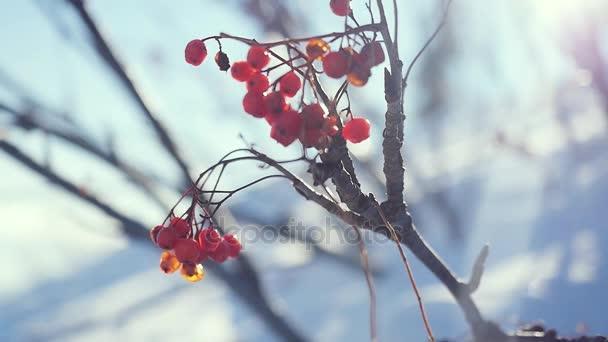 Rowan větev červené bobule zimní krásné přírodní sníh na modrém podkladu s čočka odlesk účinky