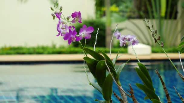Rain in the pool against the foreground of a flower frangipani to changed focus to blurred. 3840x2160