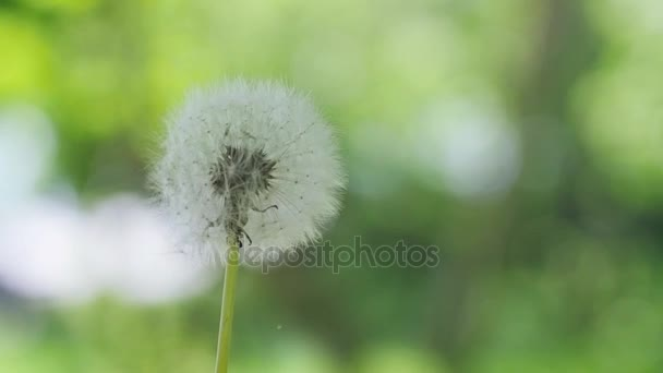 Flying dandelion seeds on blurred bokeh grass background in slow motion. 1920x1080