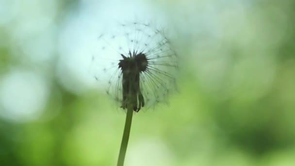 Krásný létající semínka pampelišky na rozostření pozadí zelené trávy ve zpomaleném filmu. 1920 × 1080