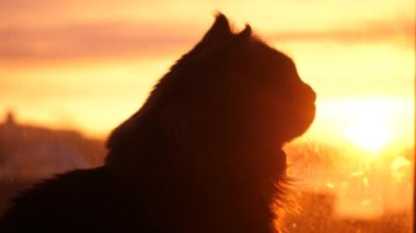 Beautiful Maine Coon cat sits on the window watch sunlight at sunset. 3840x2160