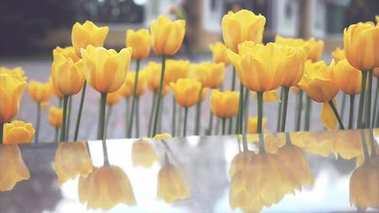 Yellow tulips in Springtime in a Square Park