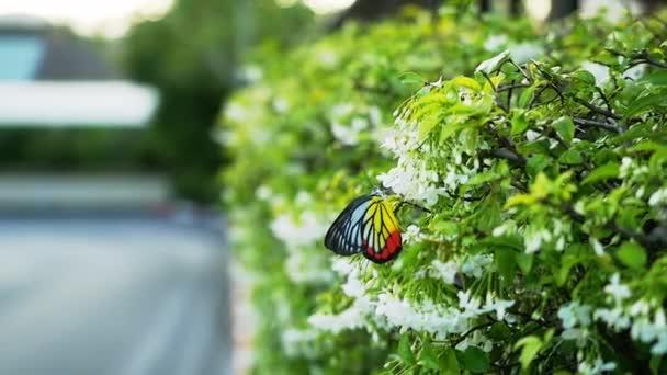 Kvetoucí bílými květy a barevné krásné flyes motýl ve zpomaleném filmu. 1920 × 1080