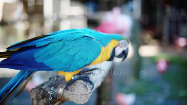 Beautiful blue and yellow Macaw parrot in a zoo. 1920x1080