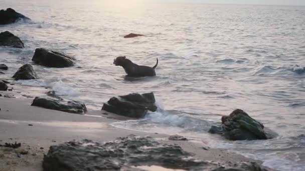Funny pes plave v moři hraje na vlnách mezi kameny. Zpomalený pohyb. 1920 × 1080