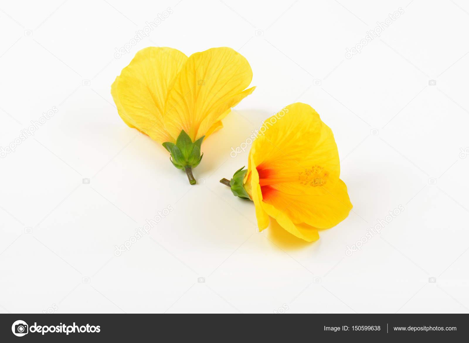 Yellow Hibiscus Blooms Stock Photo Ajafoto 150599638