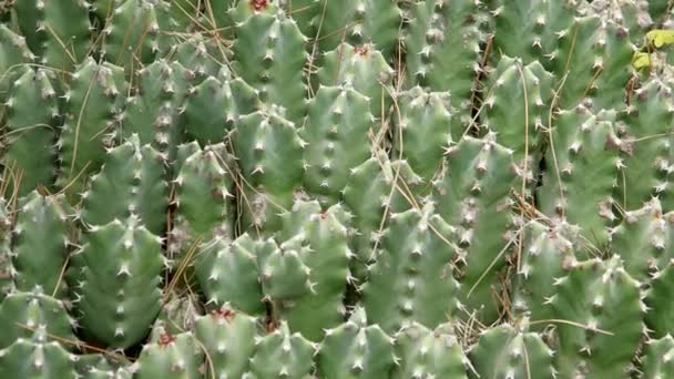 cactuses closeup in natural conditions (Ken burns effect)