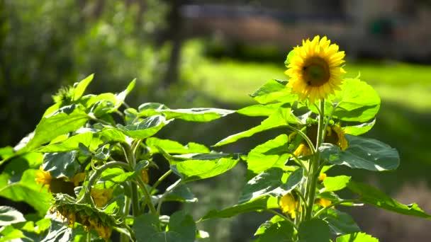 slunečnicová pole ve slunečný den