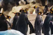 Group of penguins with yellow heads in zoo