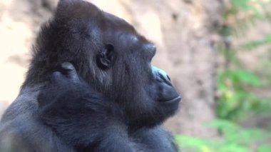 big male of silverback Gorilla