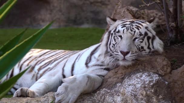 Bílý tygr odpočívá v národním parku