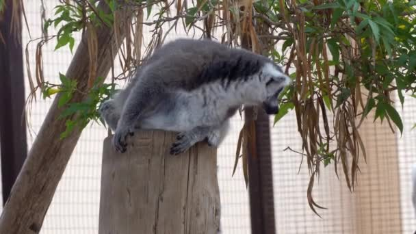 cute Lemur monkey at zoo