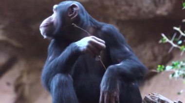 chimpanzees in the zoo