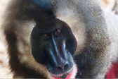 Close view of big monkey in tropical park