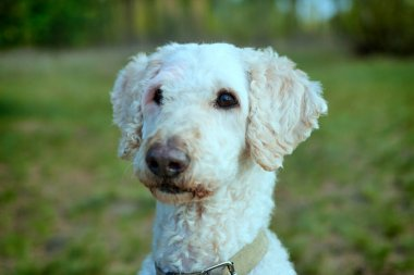 Portrait of a dog in nature. Large royal sheared poodle.
