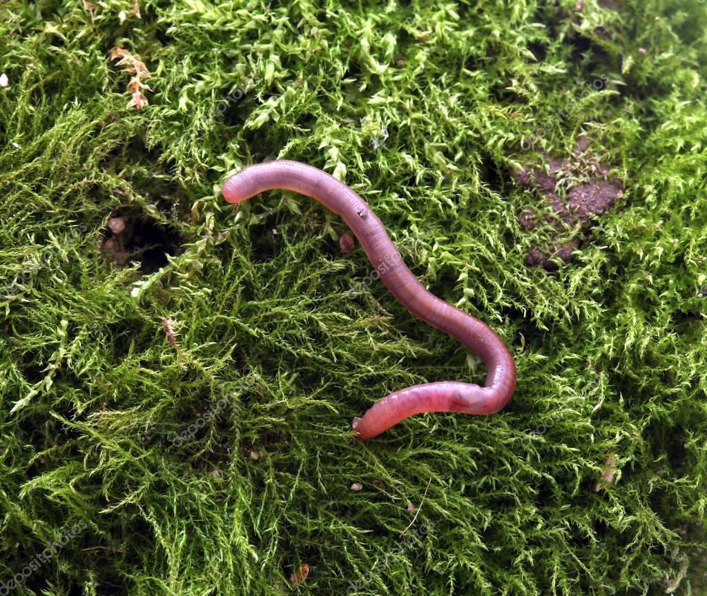 earth worm on a moss background u2014 stock photo nehruresen 128838334
