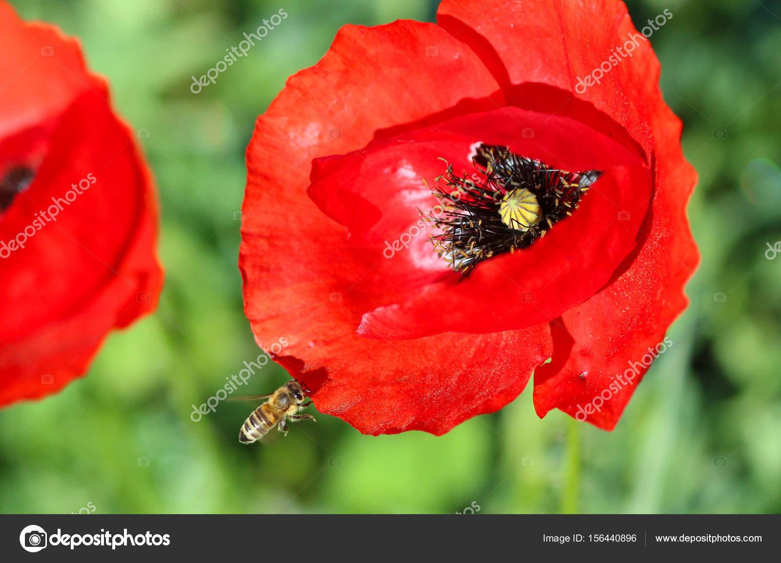 Bee On A Poppy Flower Stock Photo Nehruresen 156440896
