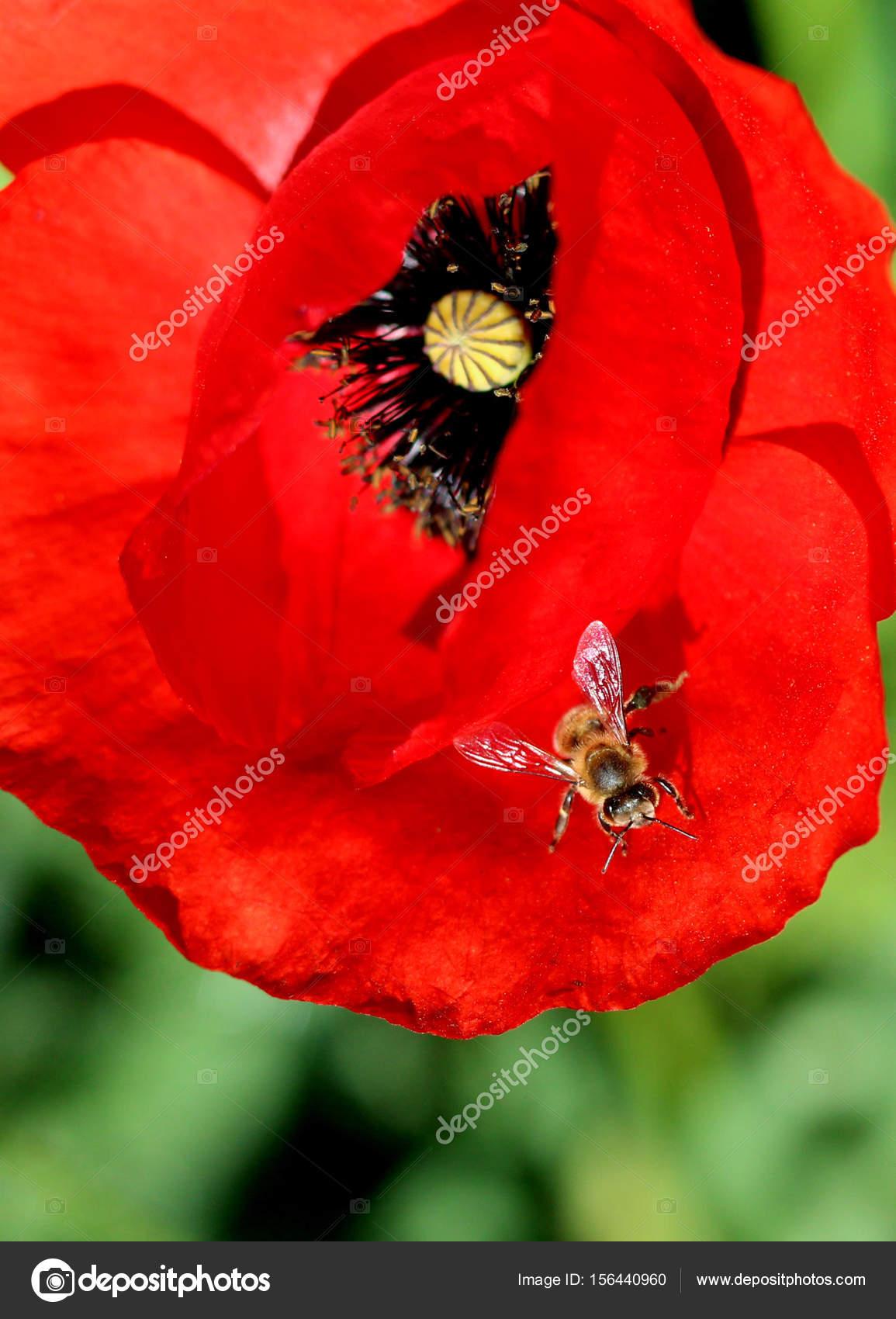 Bee On A Poppy Flower Stock Photo Nehruresen 156440960