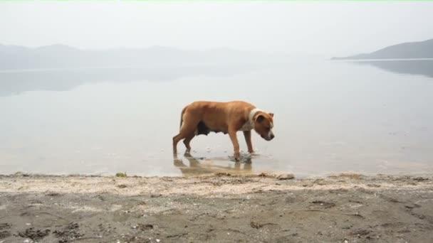 American Staffordshire Terrier Hund erfrischt sich im Wasser an einem heißen Sommertag
