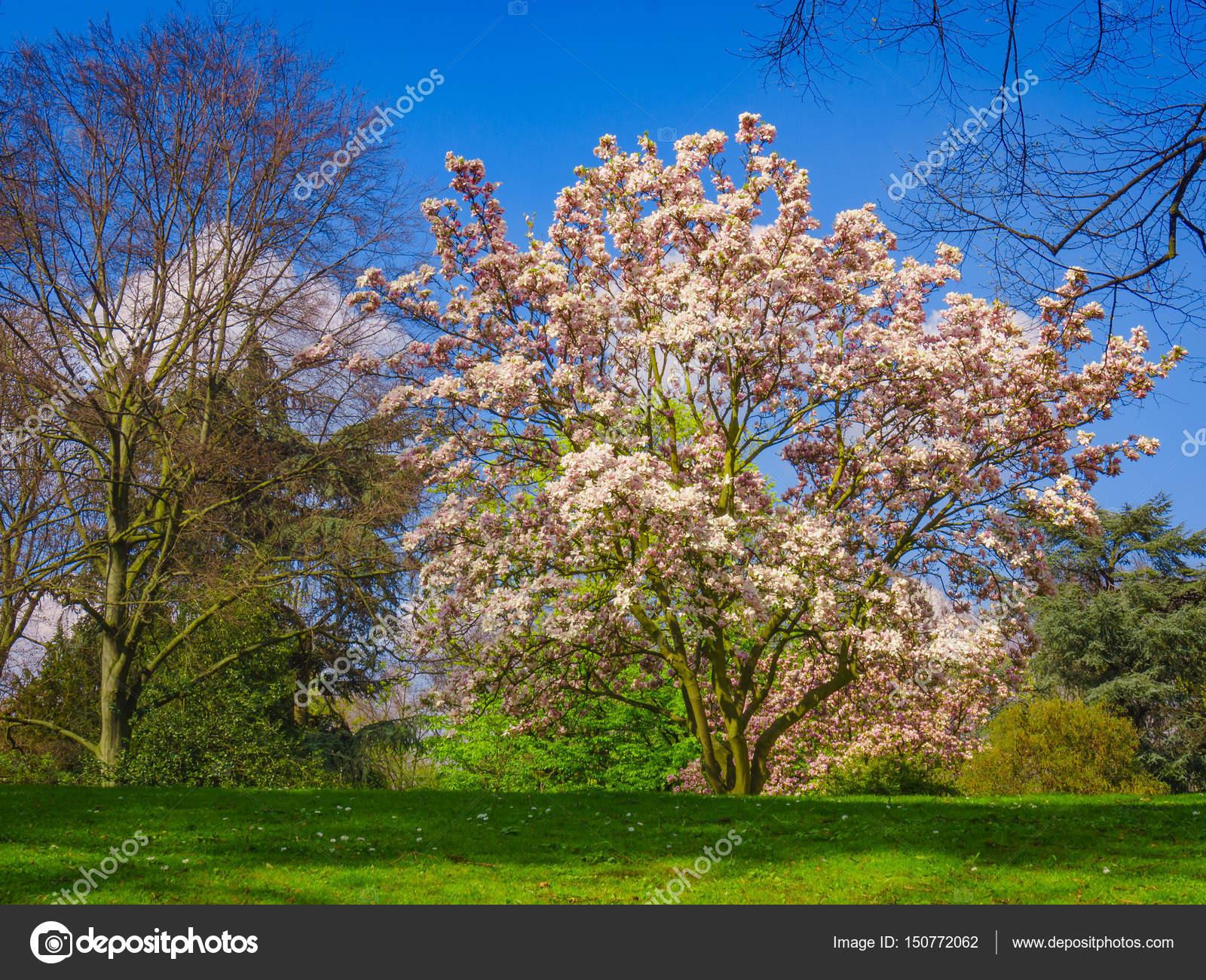 Uma Bela Arvore Magnolia Magnolia Arborea Stock Photo C Ewastudio 150772062