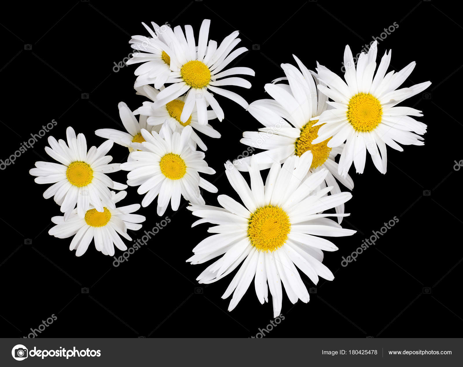 Large Flowers Of White Garden Camomiles Daisies Isolated On Blac