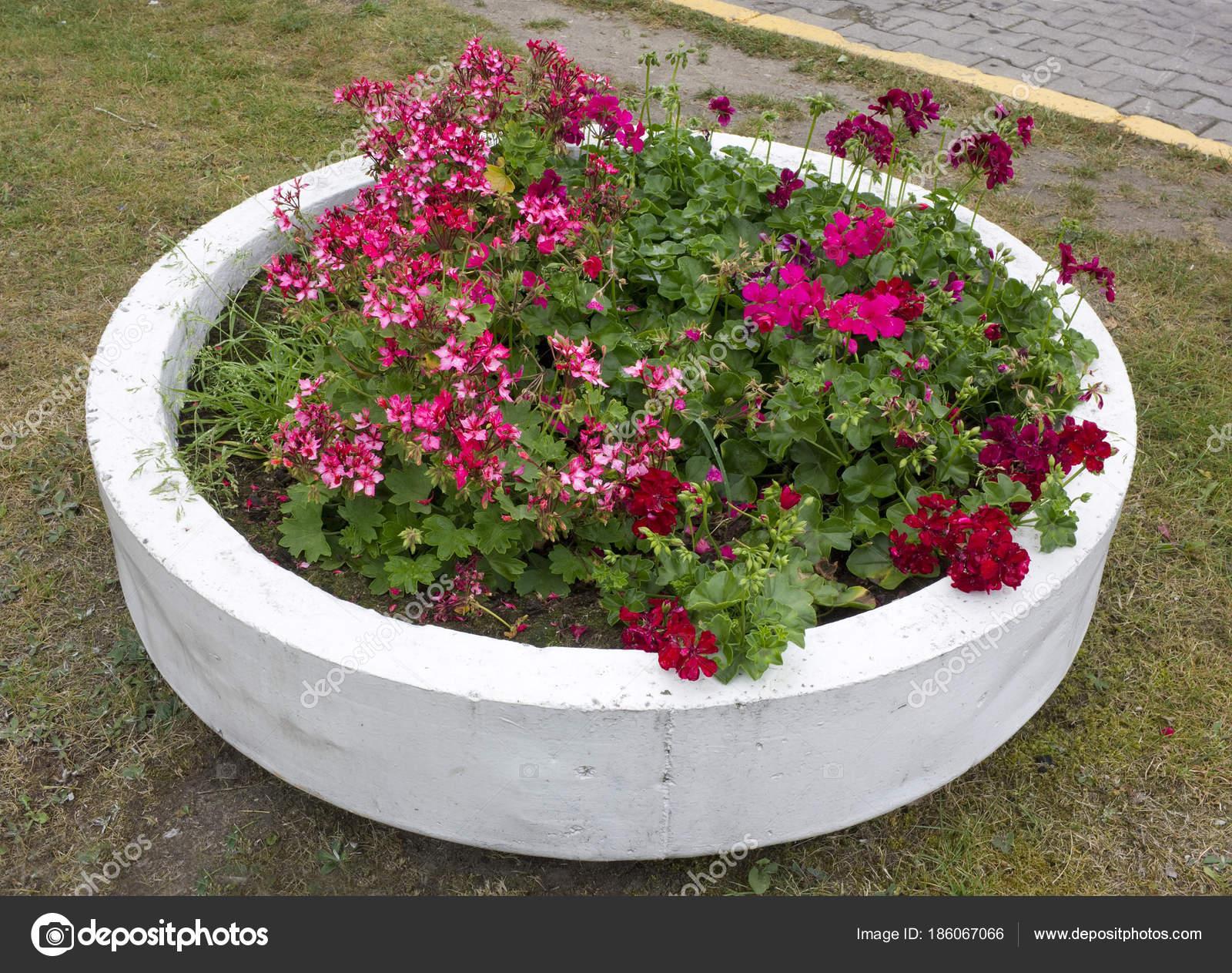 Die Straße Blumentopf Für Geranien Besteht Aus Einem Betonring
