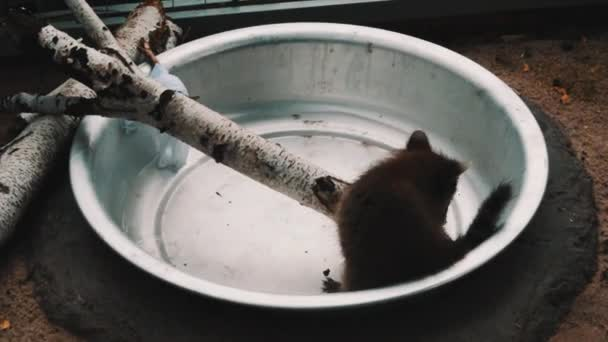 Little cute funny furry raccoon running around in tin bowl with water