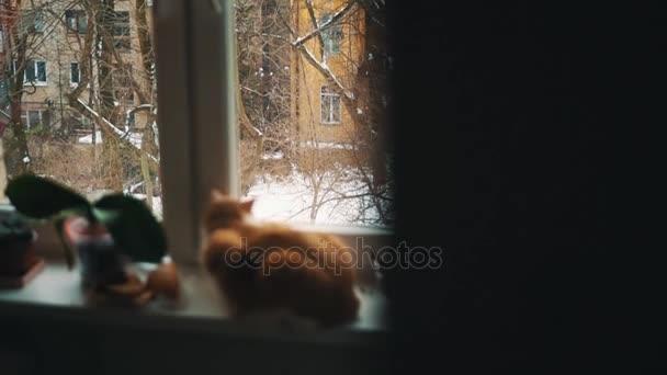 Při pohledu z okna na zimní zahradě sedět na parapetu s rostlinami hrnců červená kočka