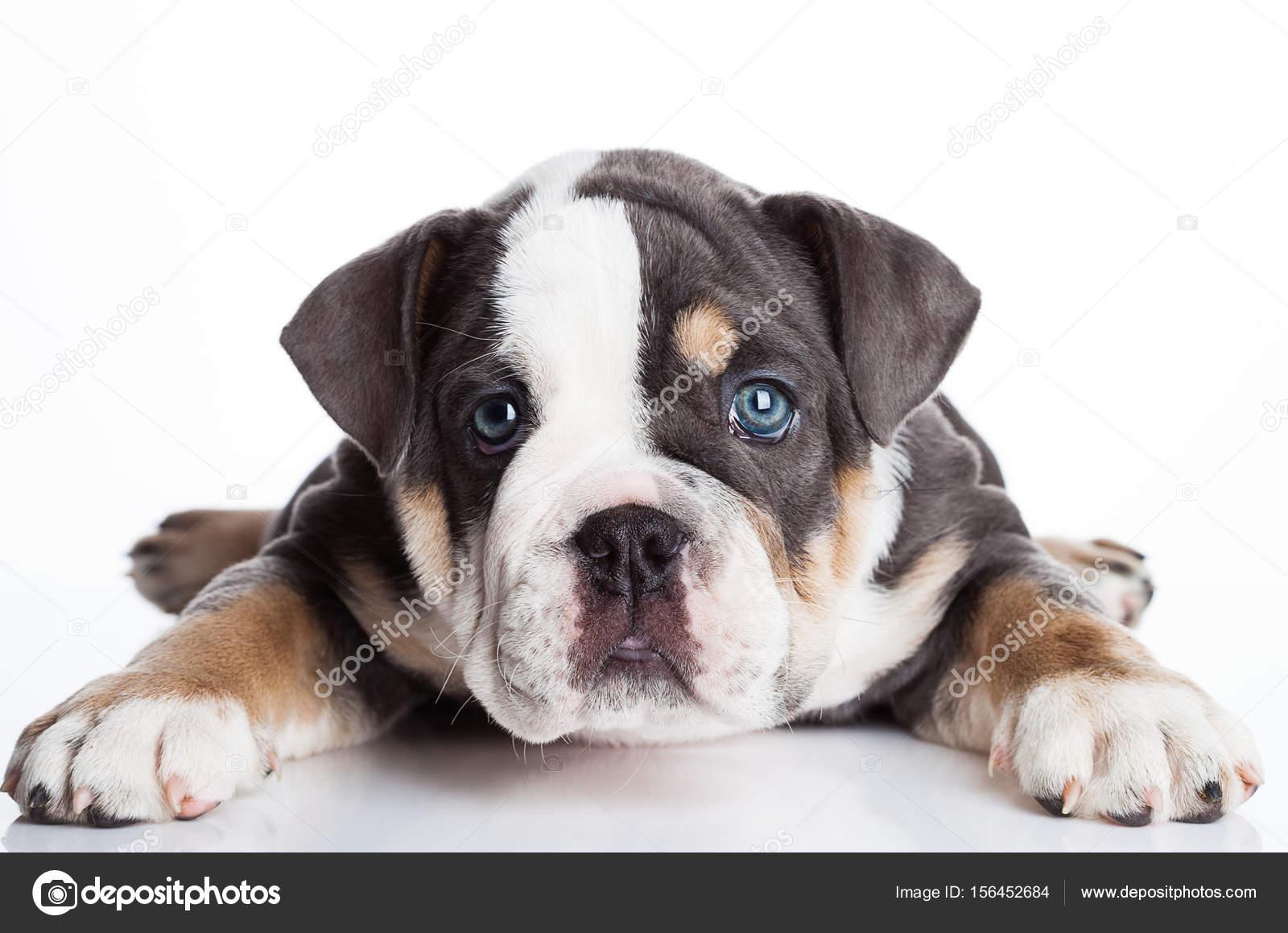 516858a6 Mały szczeniak angielski billdog szary i biały — Zdjęcie stockowe ...