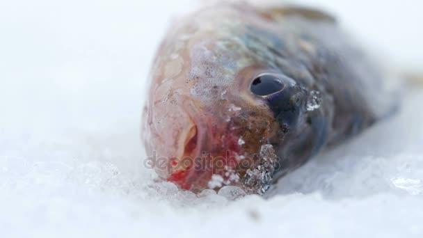 Élő halat fogott feküdt a jégen. Mozog a kopoltyúk és a száj. Közeli kép: