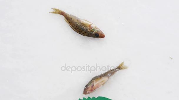Živých ryb ulovených, ležící na ledě. Žábry a ústa.
