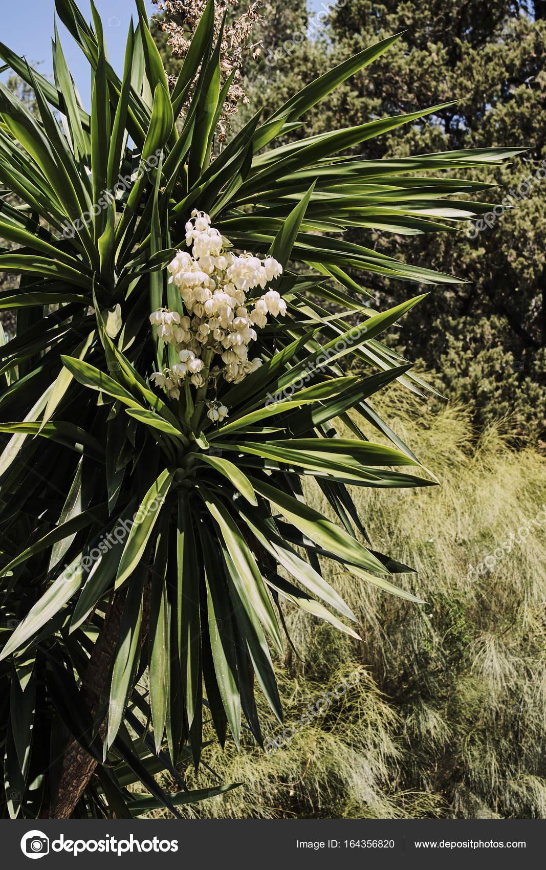 fleurs blanches sur un palmier en fleurs photographie gkordus 164356820. Black Bedroom Furniture Sets. Home Design Ideas