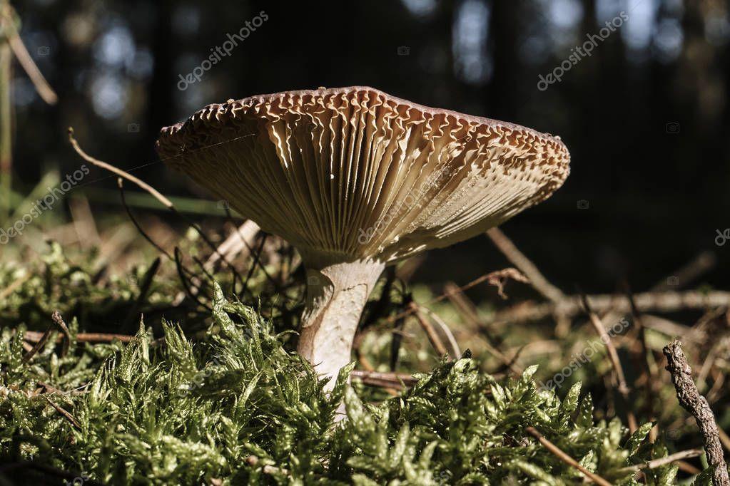 An inedible mushroom fungus