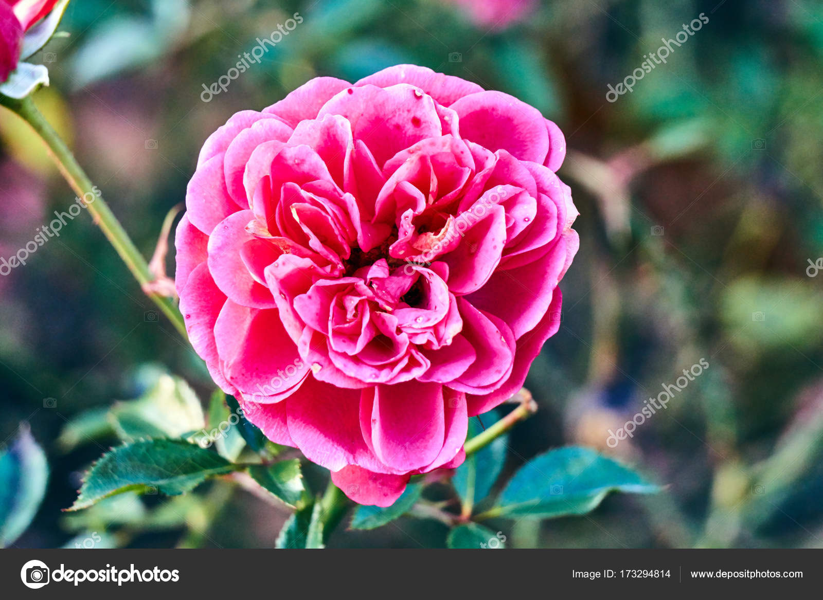 Beautiful pink rose flower garden autumn stock photo gkordus beautiful pink rose flower garden autumn stock photo izmirmasajfo