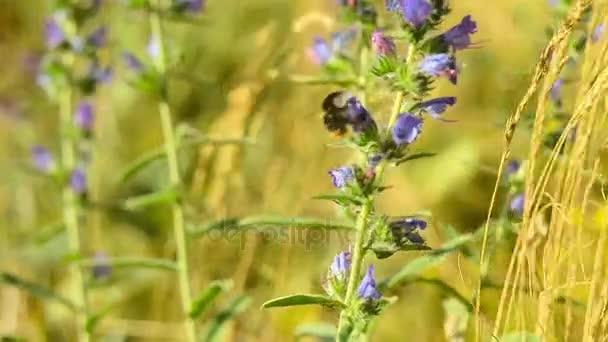 Čmelák má pyl z divoká květina