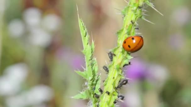 Ladybird and wee on a green plant. Blurred background. Macro.