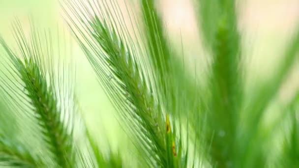 Wheat stalks blow in the wind