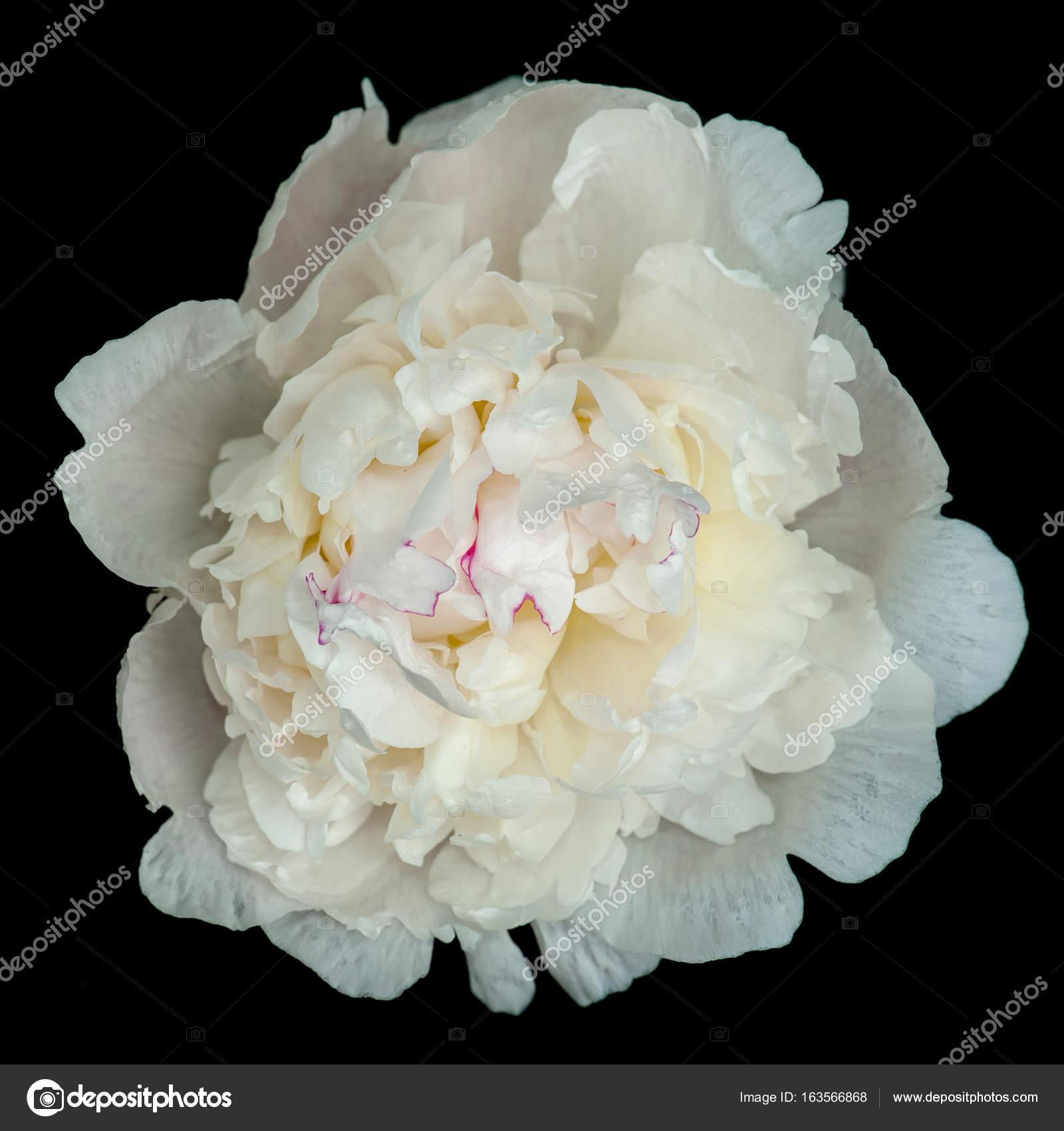 White peony flower stock photo taratata 163566868 white peony flower stock photo mightylinksfo
