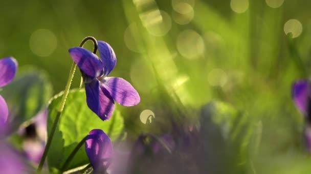 Viola Odorata Bloom v trávě.