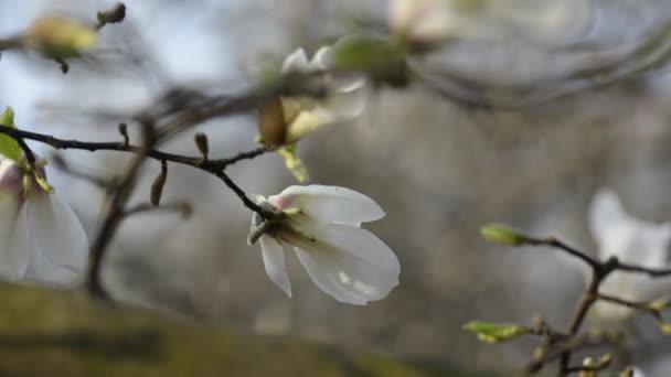 Fehér magnólia virág fej közelkép.