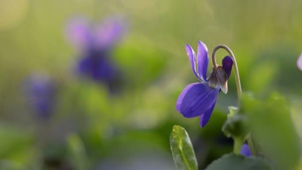 Viola Odorata Bloom na jaře